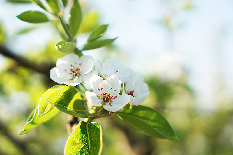 かわしま果樹園:梨