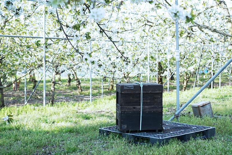 かわしま果樹園:さくらんぼ